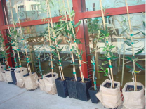 Arbequina Large Potted