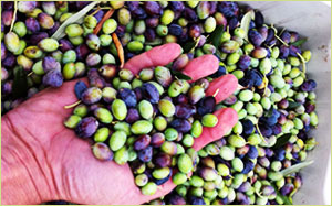 Making Olive Oil