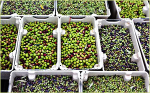 Temecula Olive OIl Standards
