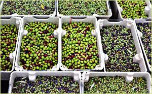 Temecula Olive OIl Standards
