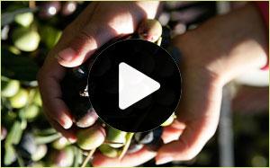 Temecula Olive Oil Videos
