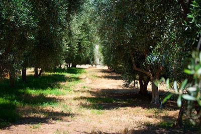 Temecula Olive Trees